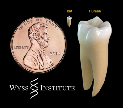 Low-power light that triggers the human dental stem cells to form dentin