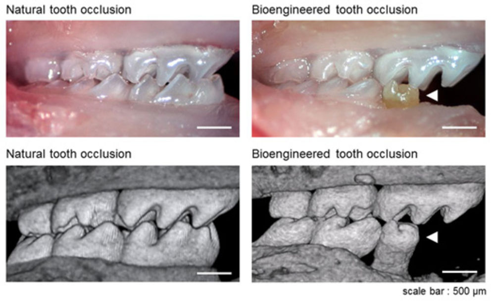 Scientists grow fully functional tooth from stem cells